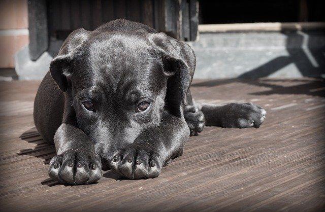 Treser psów
